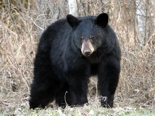 Eastern Black Bear