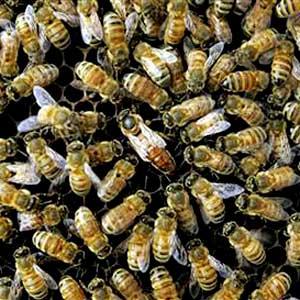 Queen Bee Honey