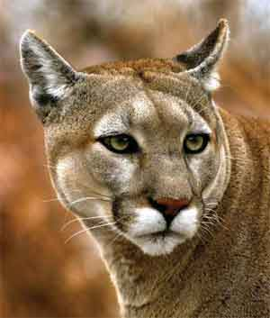 Catskill Mtns , Mountain Lion