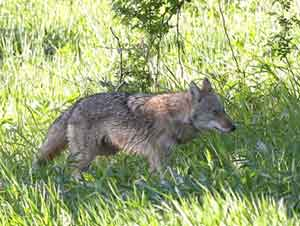 Catskill Mountains , Coyote