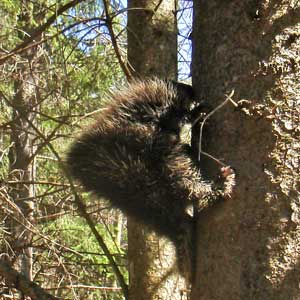 Porcupines in Catskill Mountains