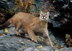 Cougars in new york state