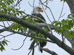 bald eagle released in Schohaire county